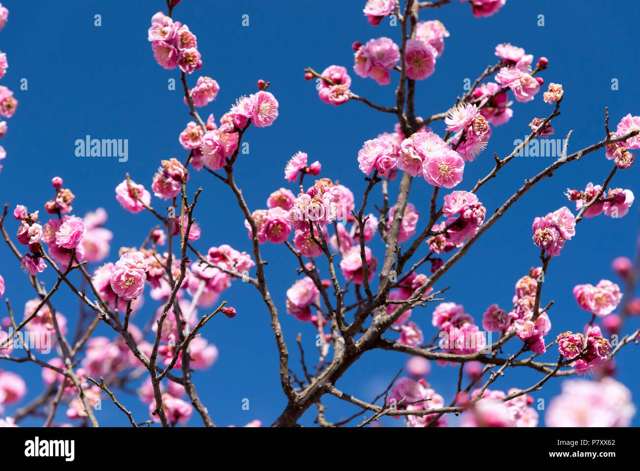 Rosa Blüten Cherry Plum tree, Japan Blume, Schönheit Konzept, japanisches Spa Konzept Stockbild