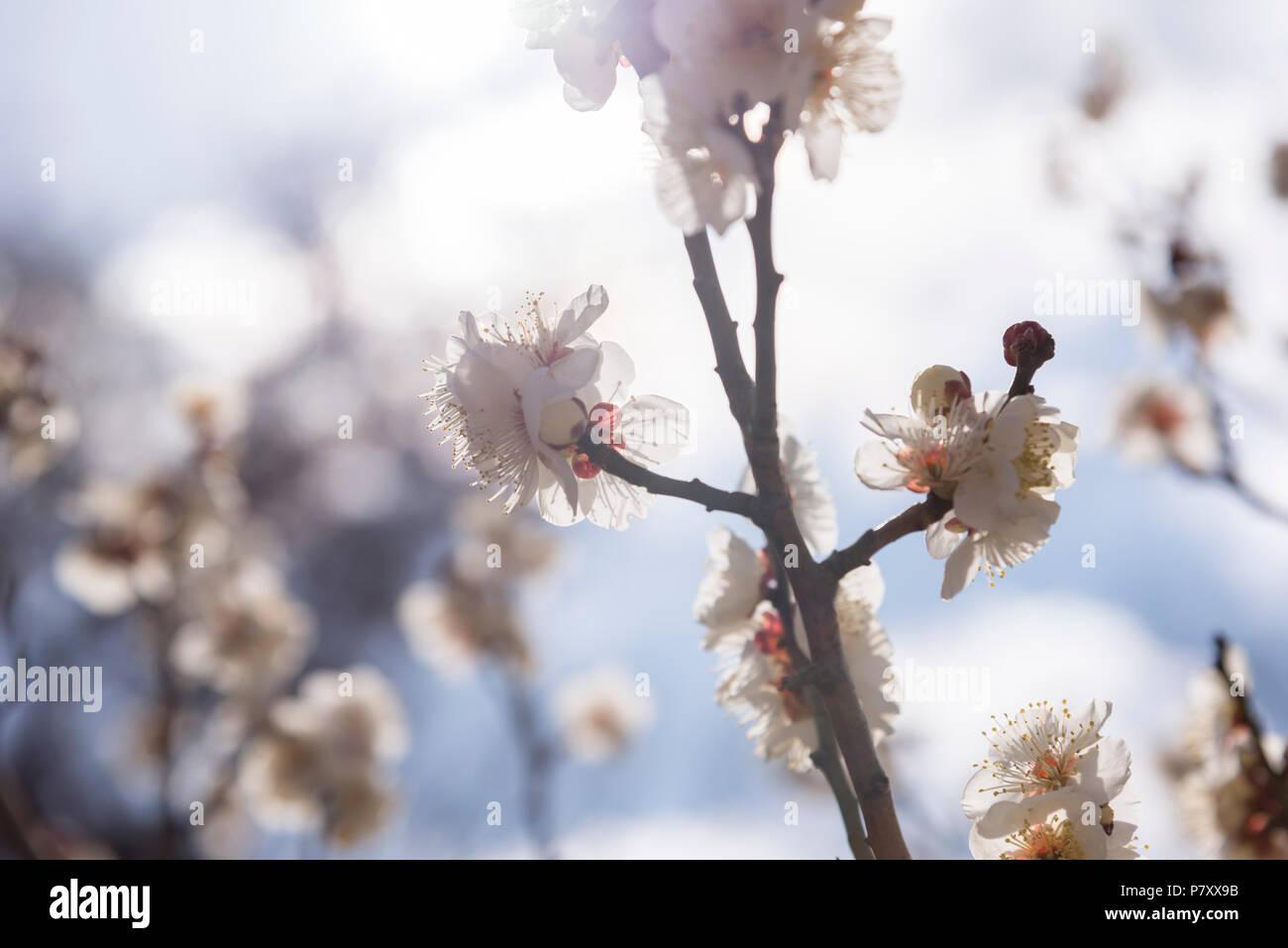 Weiße Blüten Cherry Plum tree, selektiver Fokus, Japan Blume, Beauty, Spa-Konzept Stockbild