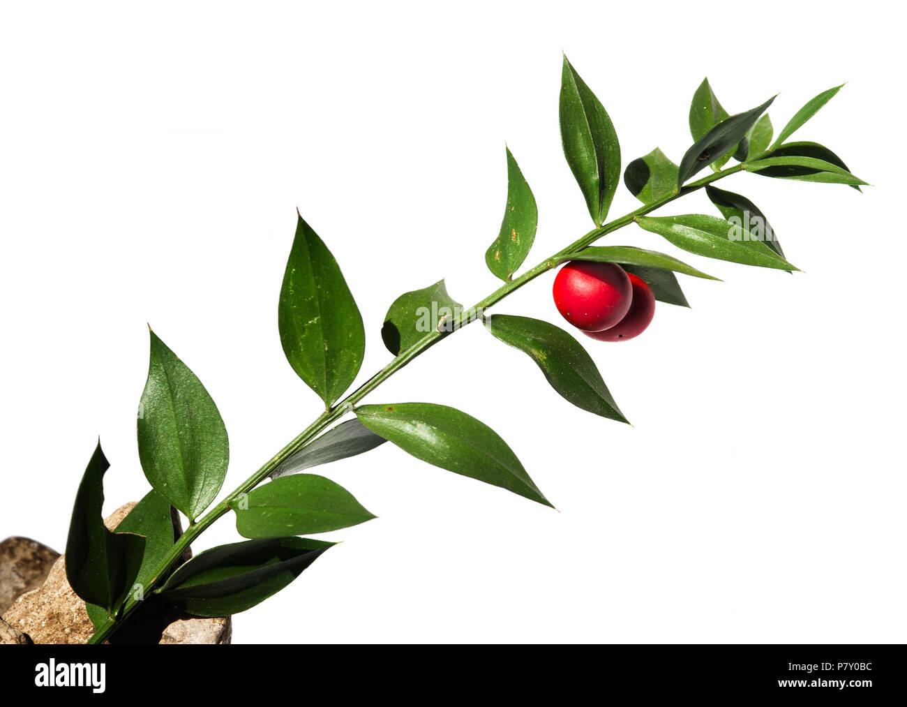 Grün Zweig des Buthers - Besen (Ruscus aculeatus) falsche Blätter mit zwei roten Beeren/Obst gegen einen weißen Hintergrund. Parque Natural da Arrábida Stockbild