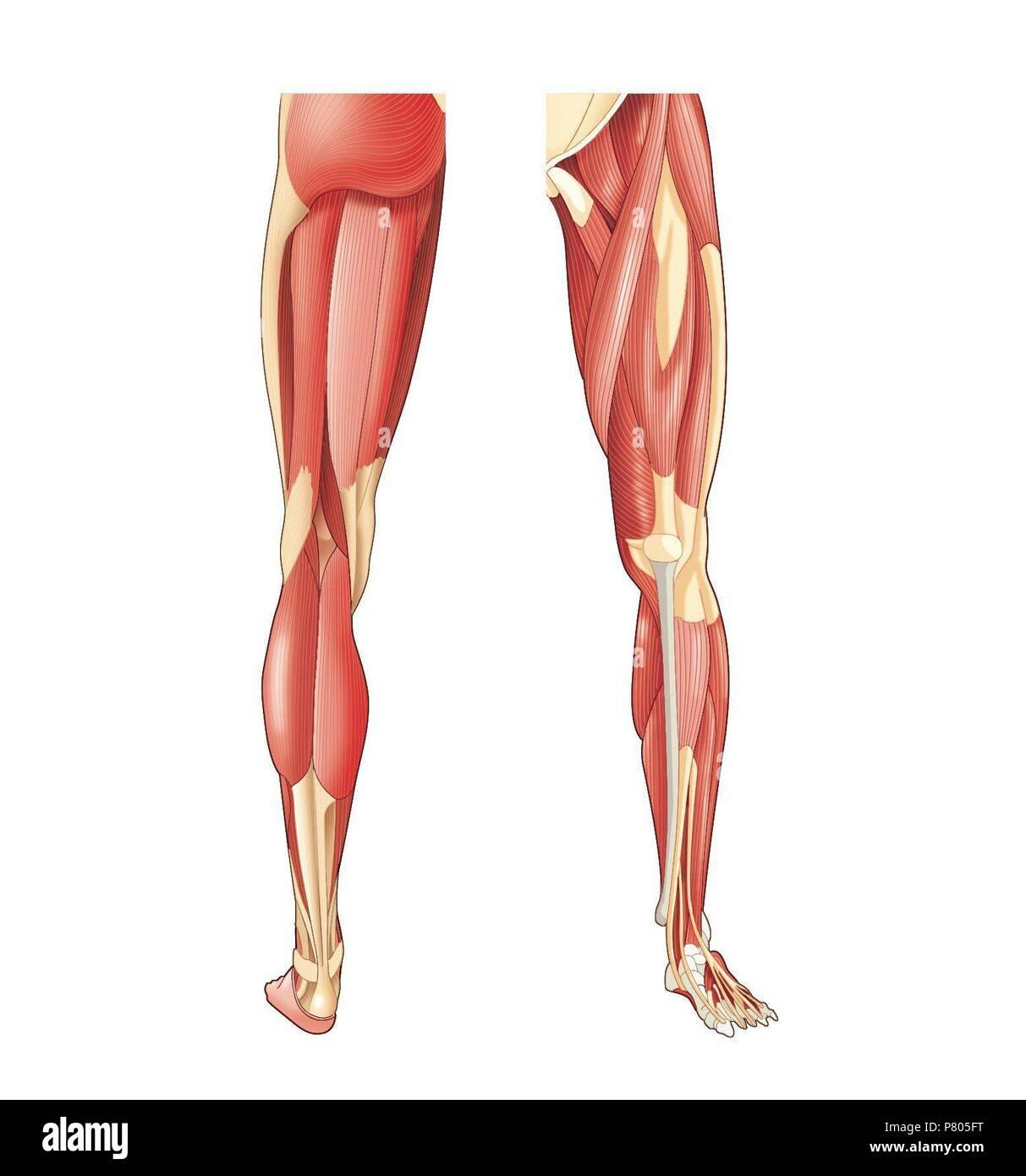 Muskeln der unteren Extremitäten Stockfoto, Bild: 211446028 - Alamy