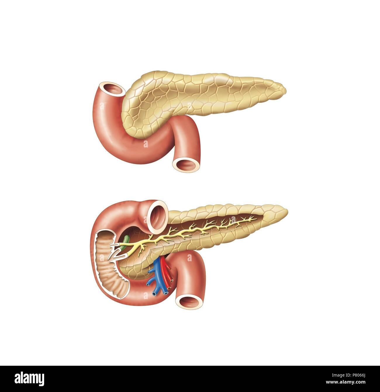 Bauchspeicheldrüse Anatomie Stockfoto, Bild: 211446554 - Alamy