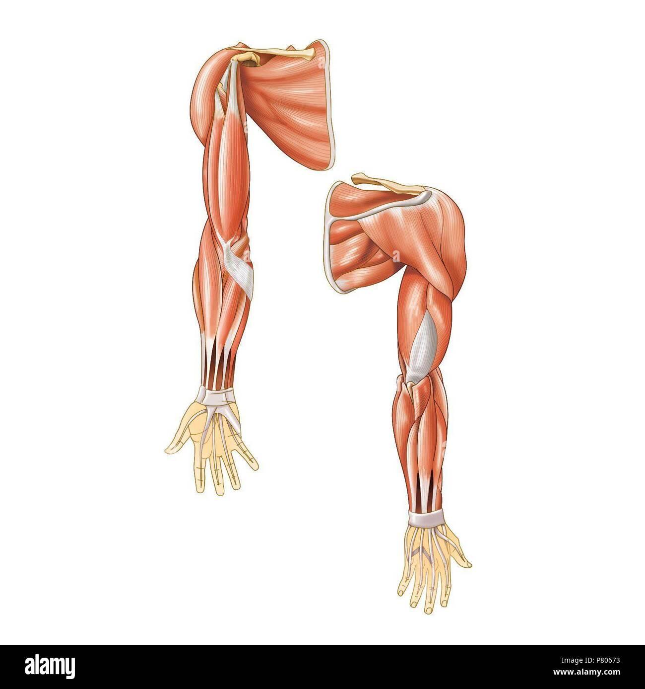 Muskeln der oberen Extremitäten Stockfoto, Bild: 211446567 - Alamy