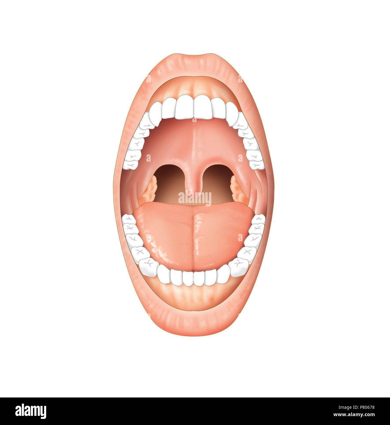 Mund Anatomie Stockfoto, Bild: 211446572 - Alamy