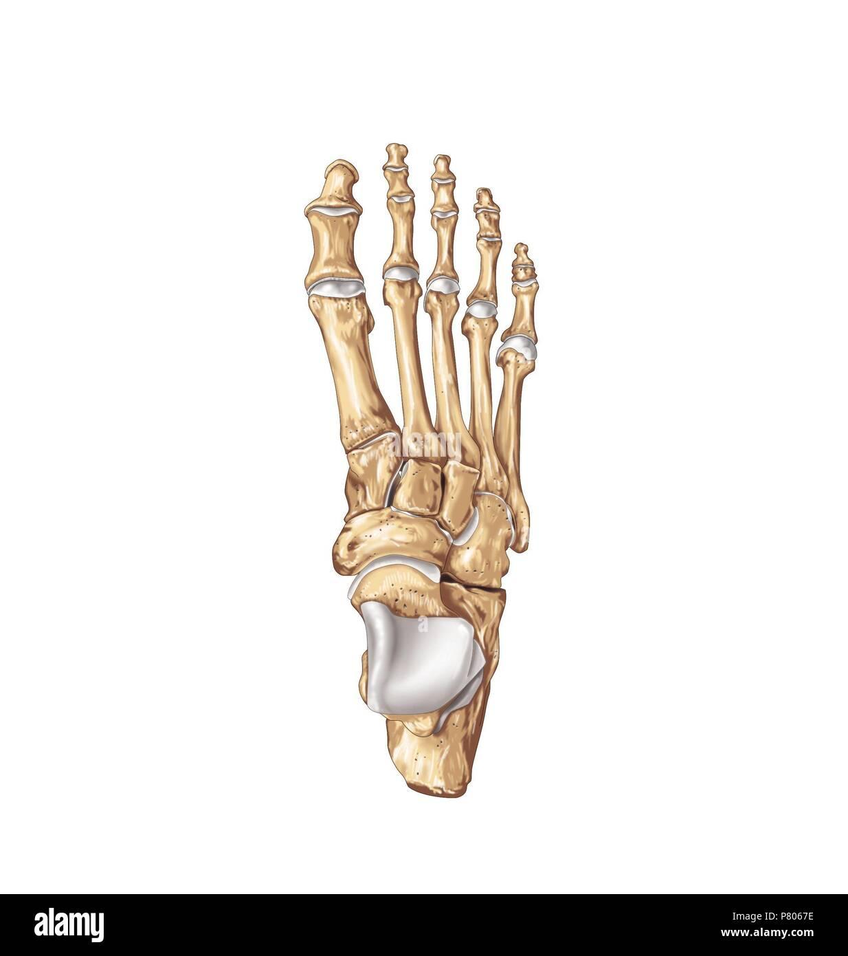 Fuß Knochen Stockfoto, Bild: 211446578 - Alamy