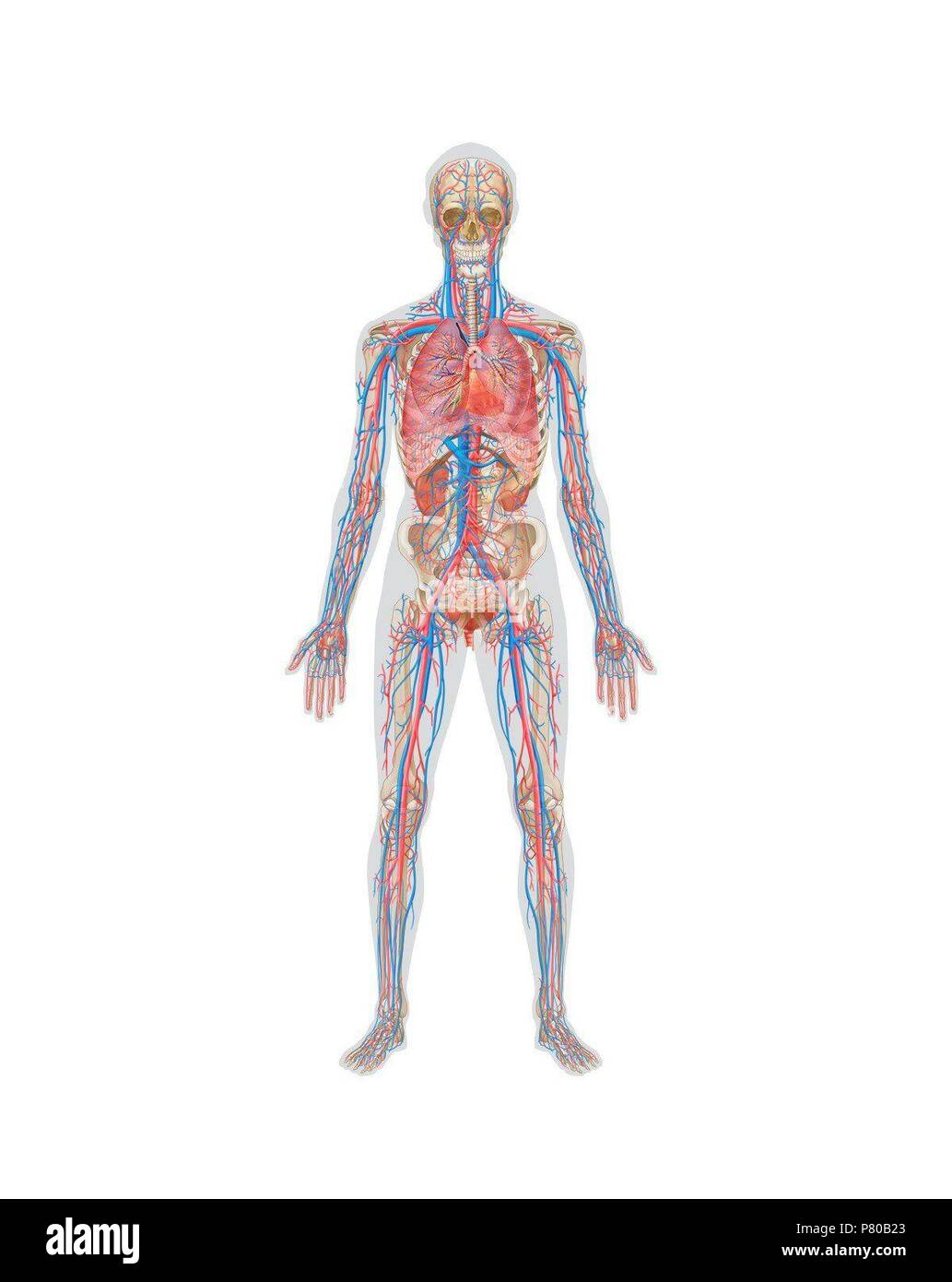 Circulatory Systems Stockfotos & Circulatory Systems Bilder - Alamy