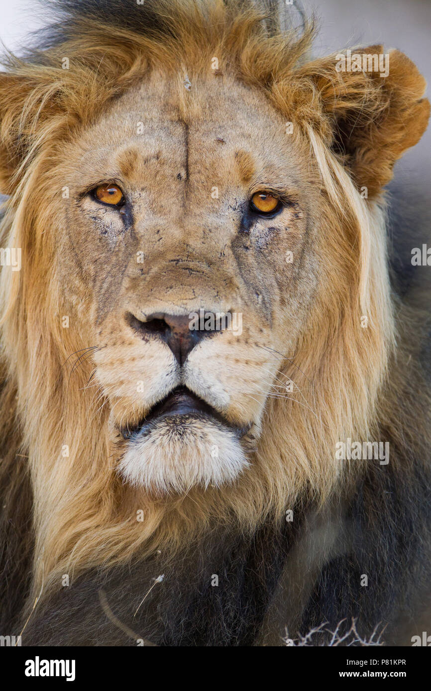 Männliche Kalahari Wüste Lion Portrait in der Wüste Stockbild