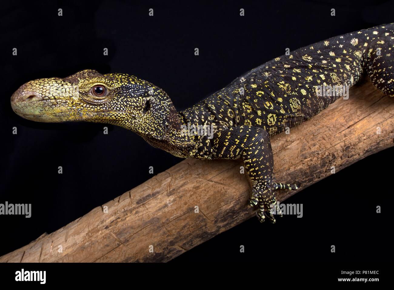 Das Krokodil Monitor (Varanus salvadorii) ist die längste Echse der Welt. Diesen Baum Drachen sind endemisch in Papua Neuguinea und West Pap Stockbild