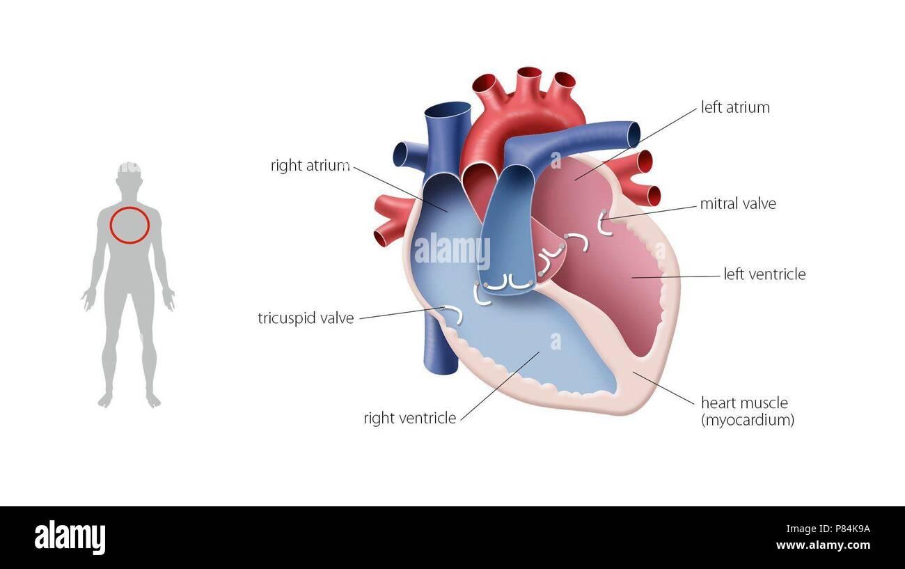Groß Herz Lage Im Körperbild Bilder - Anatomie Und Physiologie ...