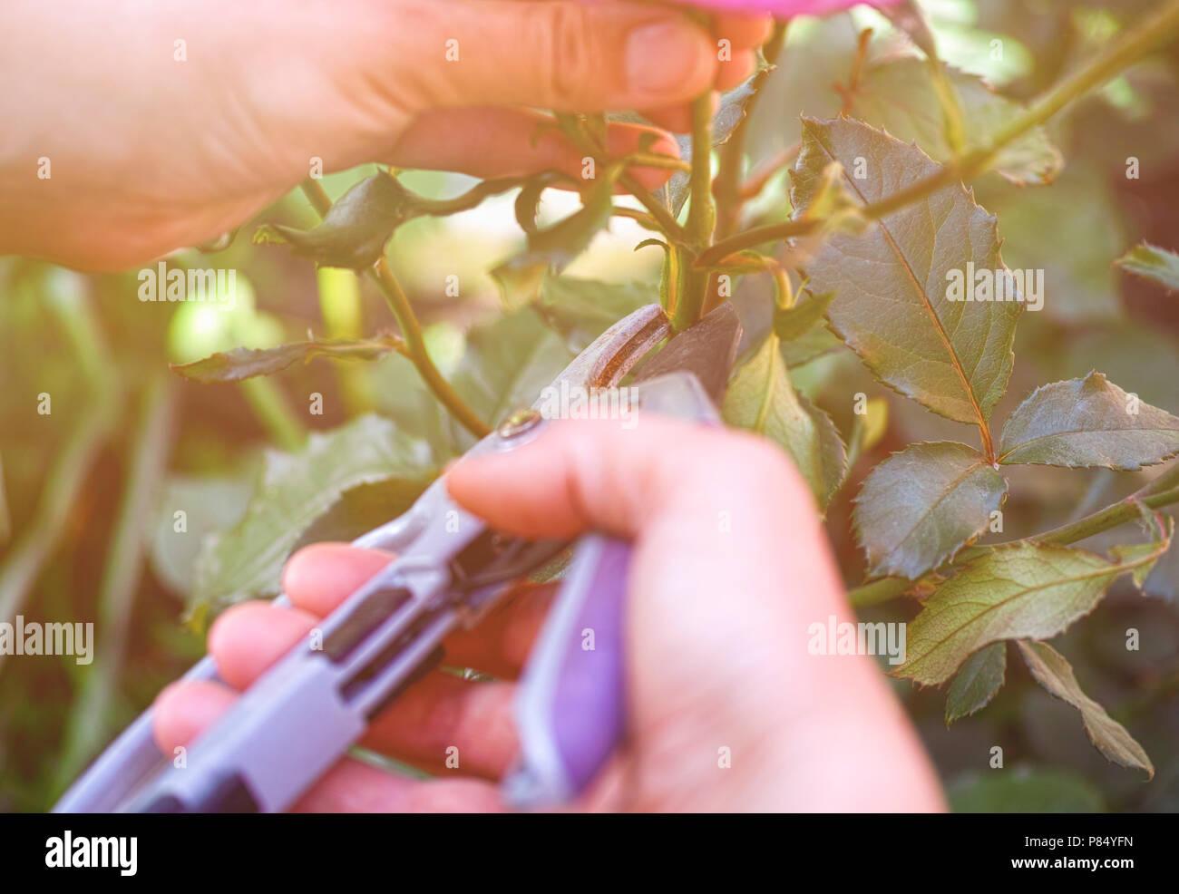 Frau Hände mit Garten Scheren schneiden Rosenbusch. Stockbild