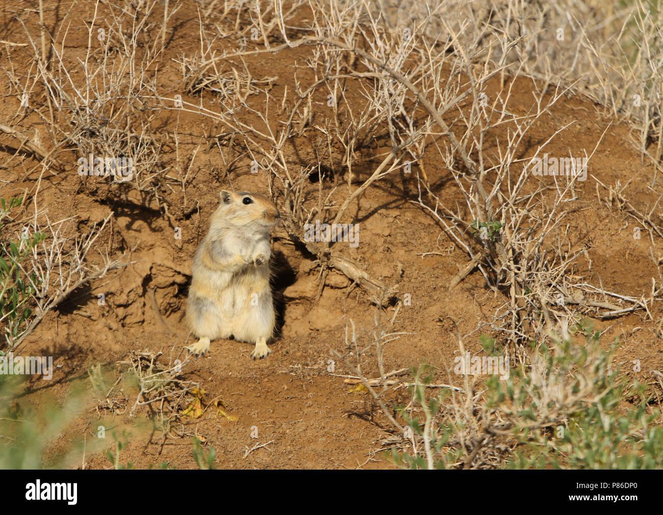 Große Rhombomys opimus (wüstenrennmaus) eine Nagetierart gefunden während viel von Zentralasien. Stockbild