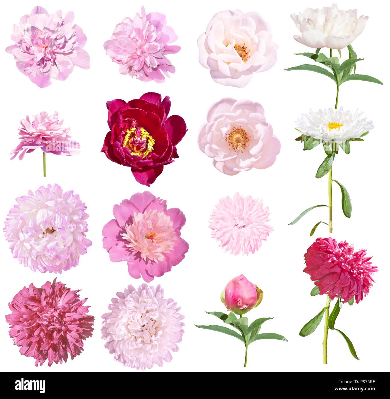 Pfingstrosen Und Astern Blumen Auf Weissem Hintergrund Rosa Und