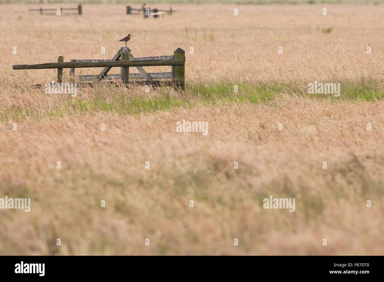 Grutto, Uferschnepfe, Motacilla alba Stockbild