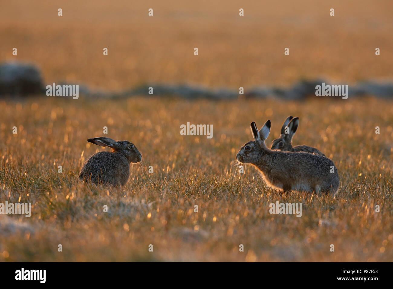 Haas im Ochtend licht; Hase im Morgenlicht Stockbild