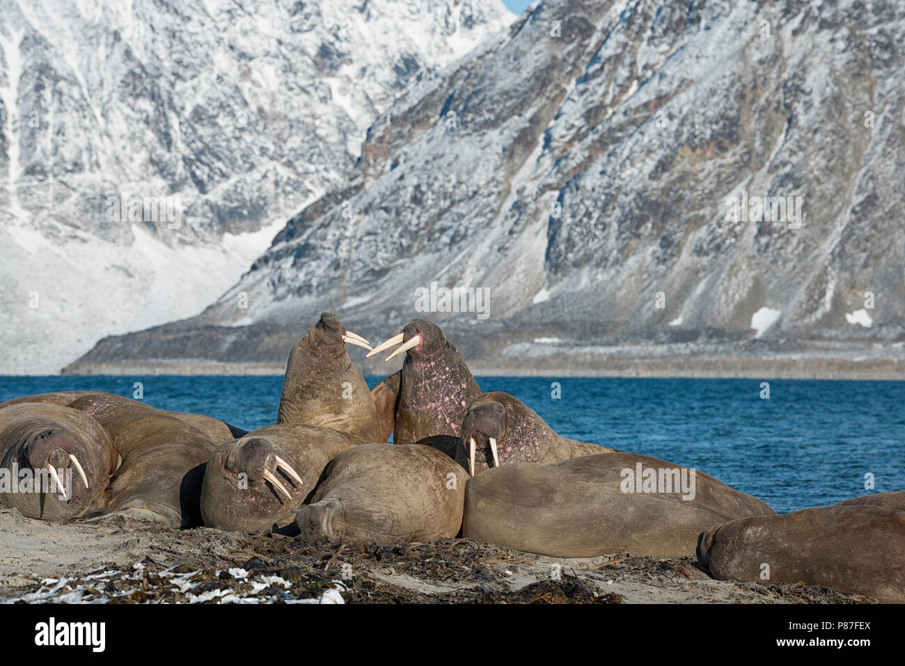 Gruppe der Walrosse in Nordvest-Spitsbergen Smeerenburgfjord, Nationalpark, 2017 Stockbild