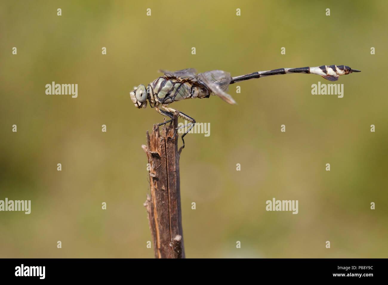 Imago Bladetail Vaandeldrager; Erwachsene; Stockbild