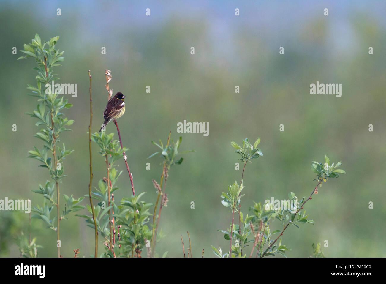 Yellow-breasted Bunting - Weidenammer - Emberiza aureola ssp. aureola, Russland, männlichen Erwachsenen Stockbild