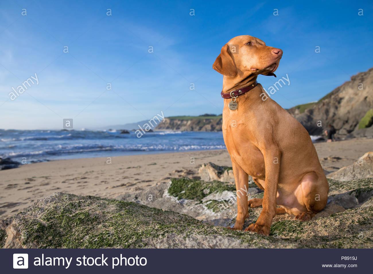 Red Vizsla Sitzen am Strand unter blauem Himmel auf Seite Stockbild