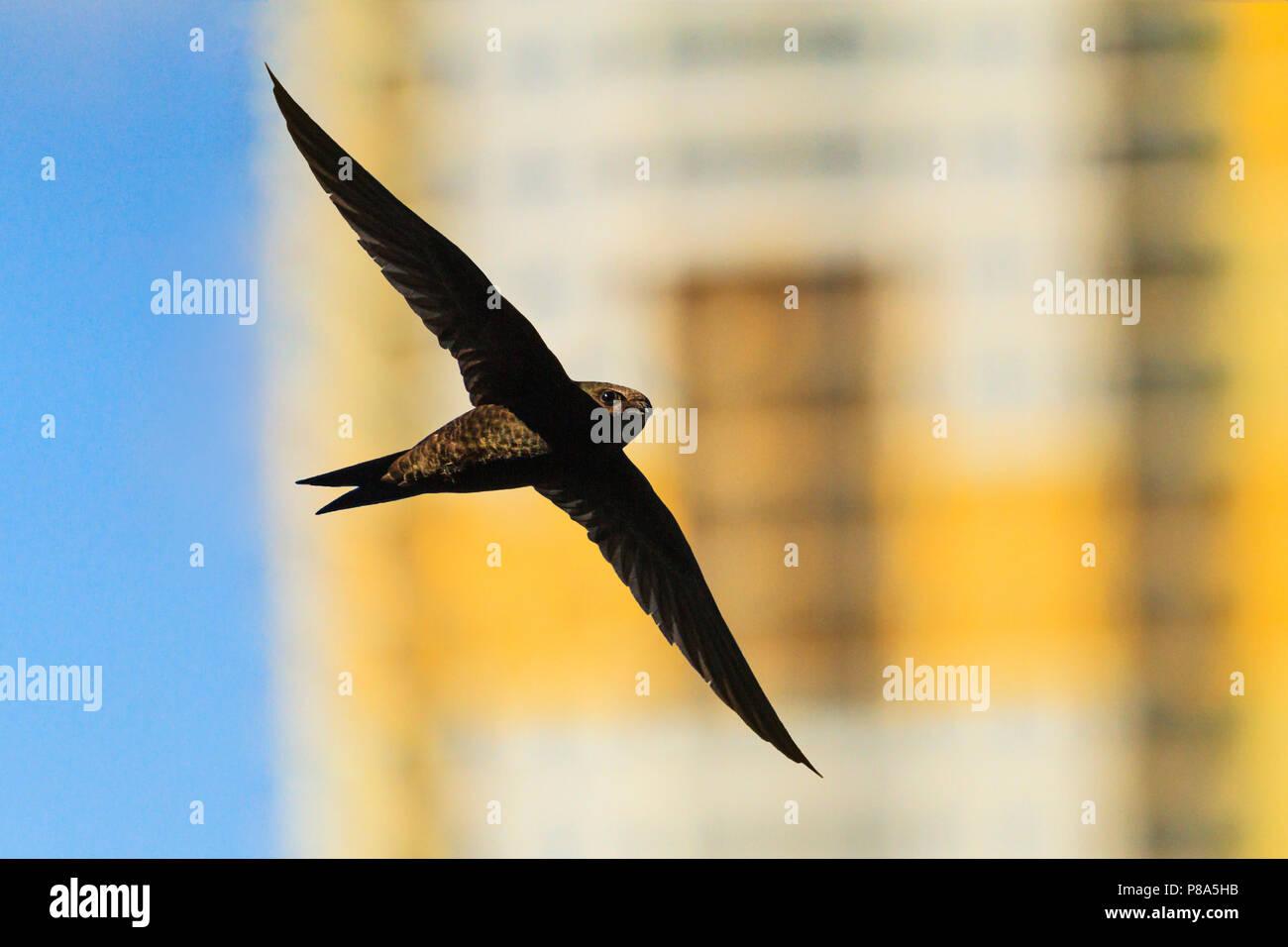 Swift fliegt vor dem Hintergrund der hohen Gebäude. Stockbild