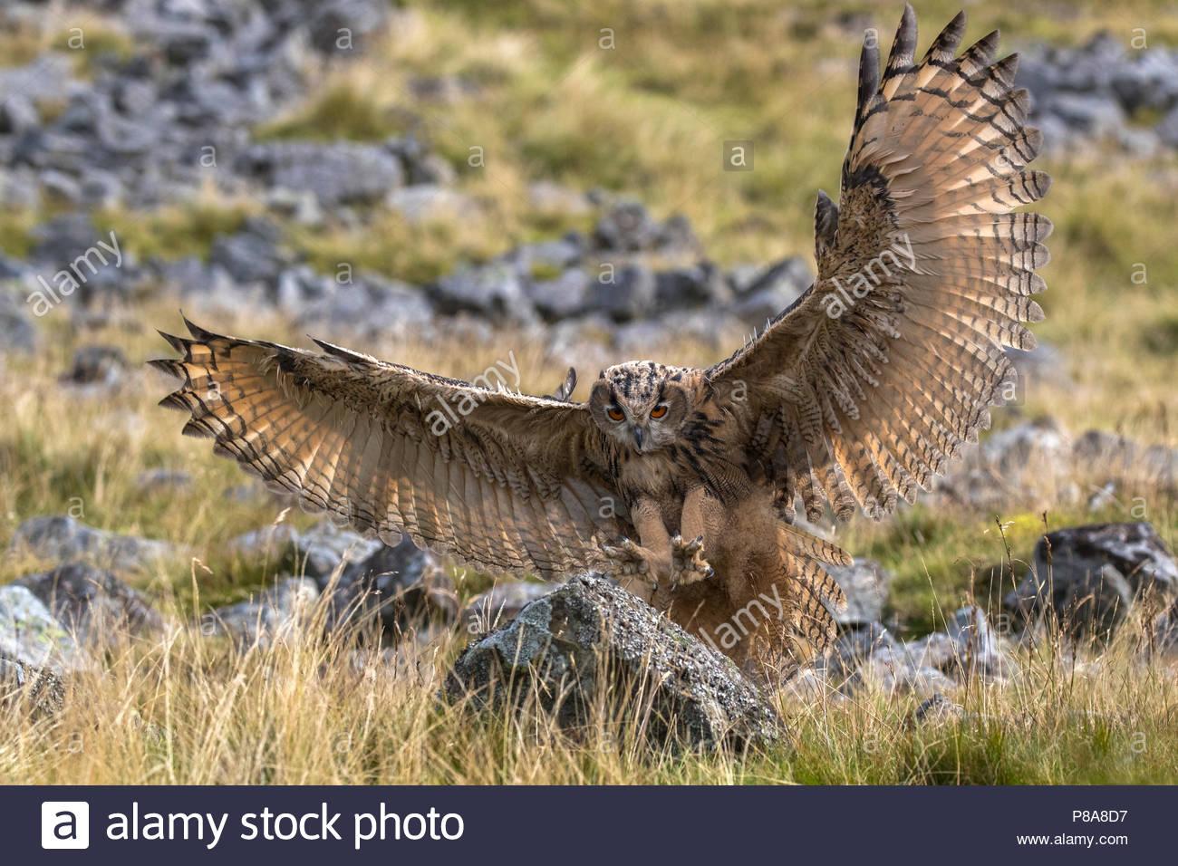 Europäische (Eurasische) Uhu (Bubo bubo) im Flug, Captive, Cumbria, Großbritannien Stockbild
