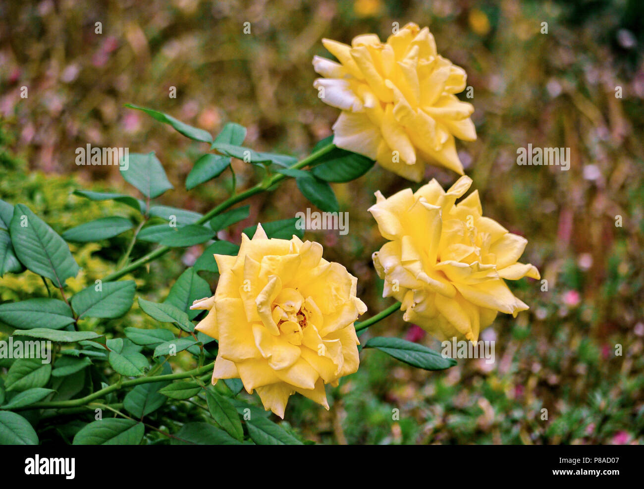 Helle grüne Zweig der schönen Zitrone-farbigen Rosen. Für ihr Design Stockbild