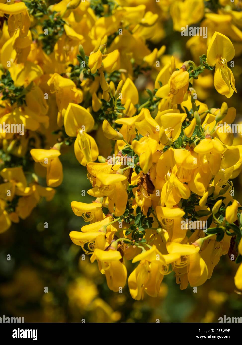 Garten Blumen Im Sudlichen Schottland Anfang Juni Goldener Besen