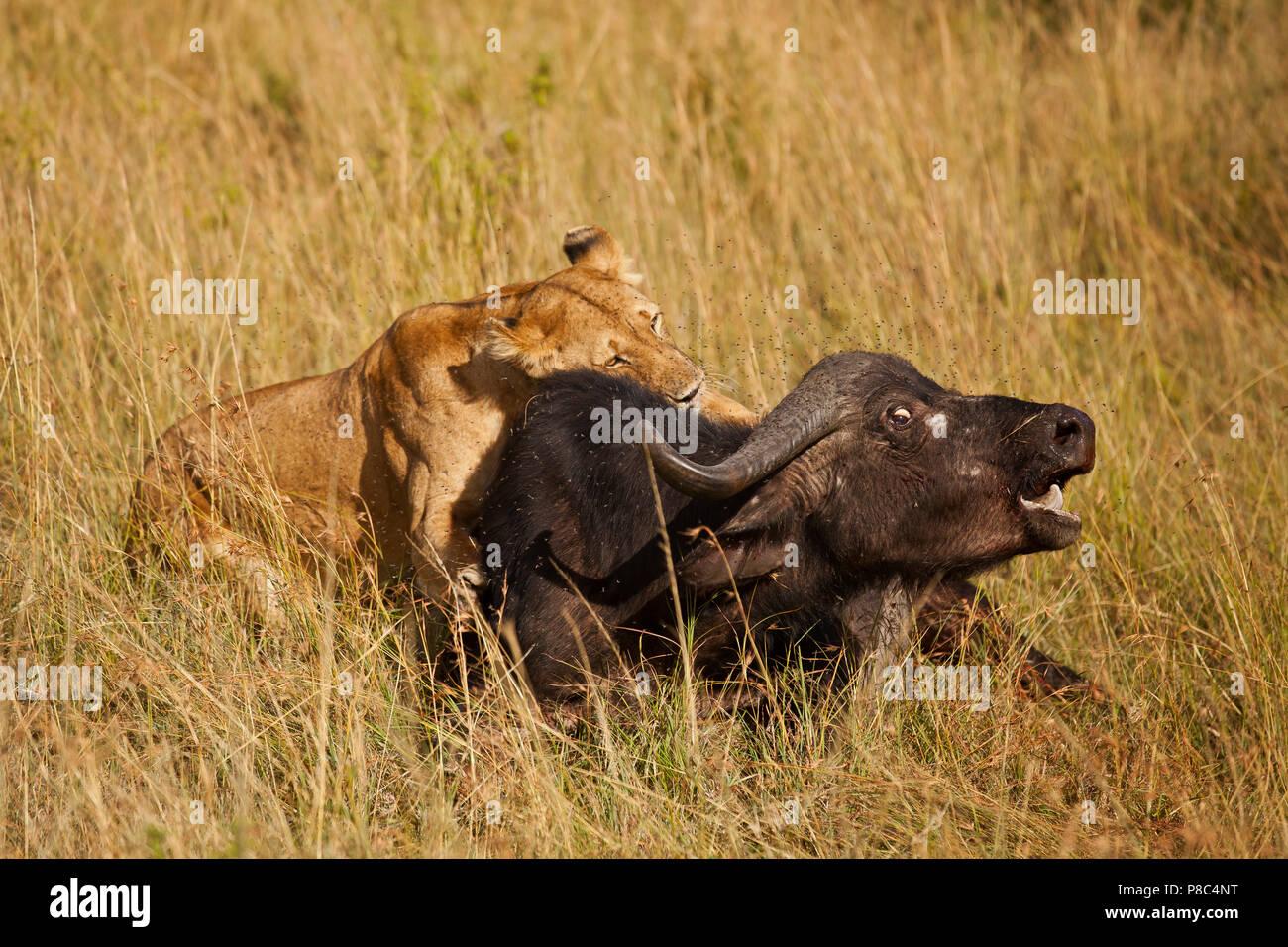 löwe jagt antilope