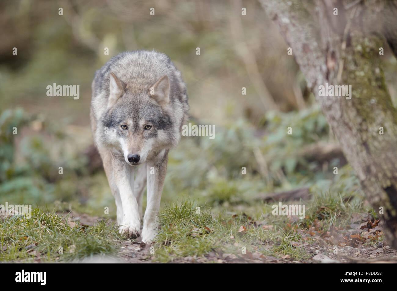 Wolf im Wald konzentrierte sich auf Beute Stockbild