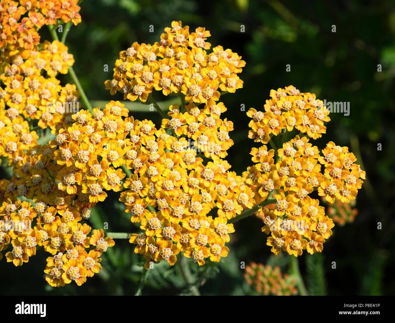 Gelb Orangen Bluten Im Sommer Bluhende Winterharte Stauden
