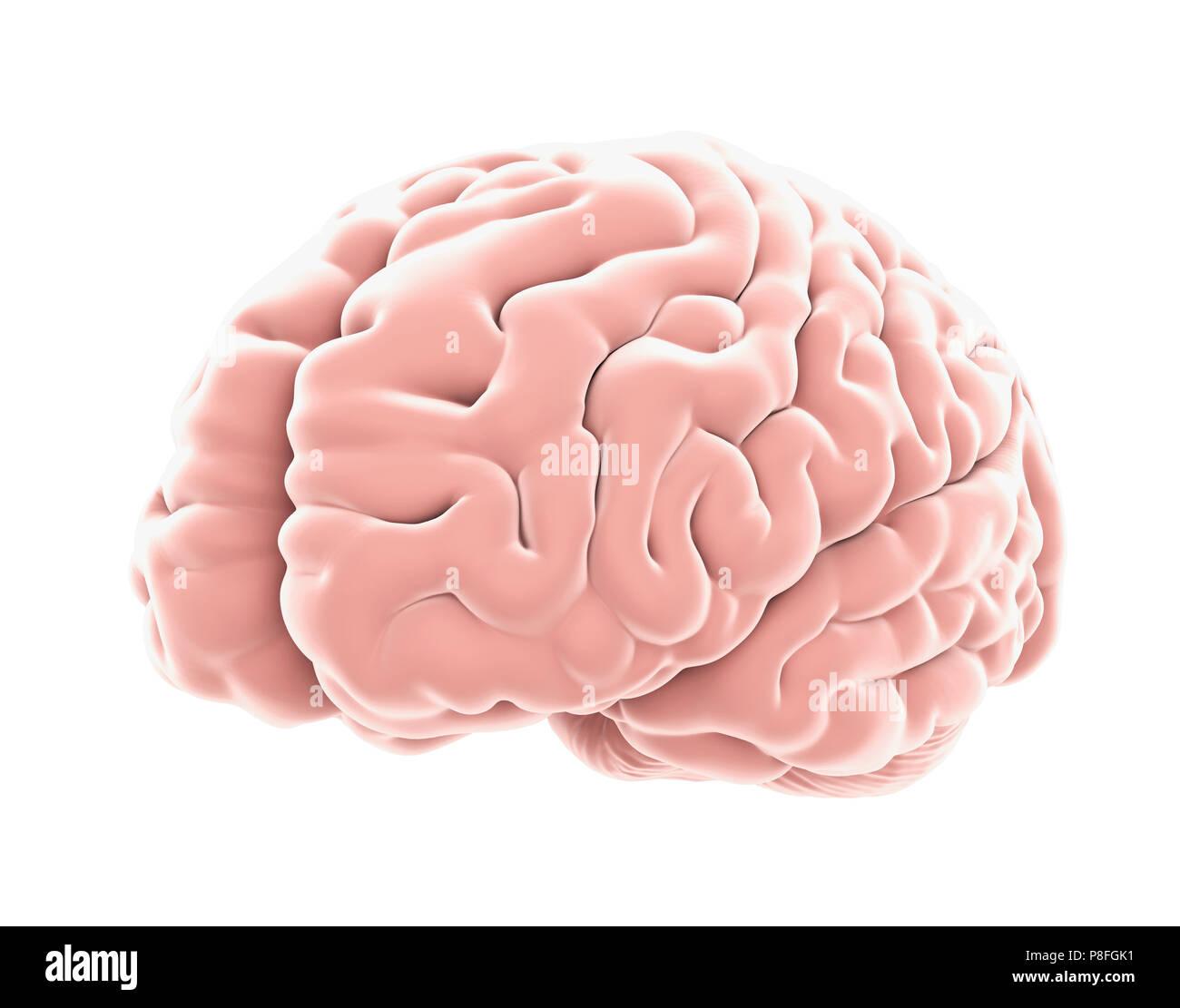 Die menschliche Anatomie des Gehirns isoliert Stockfoto, Bild ...