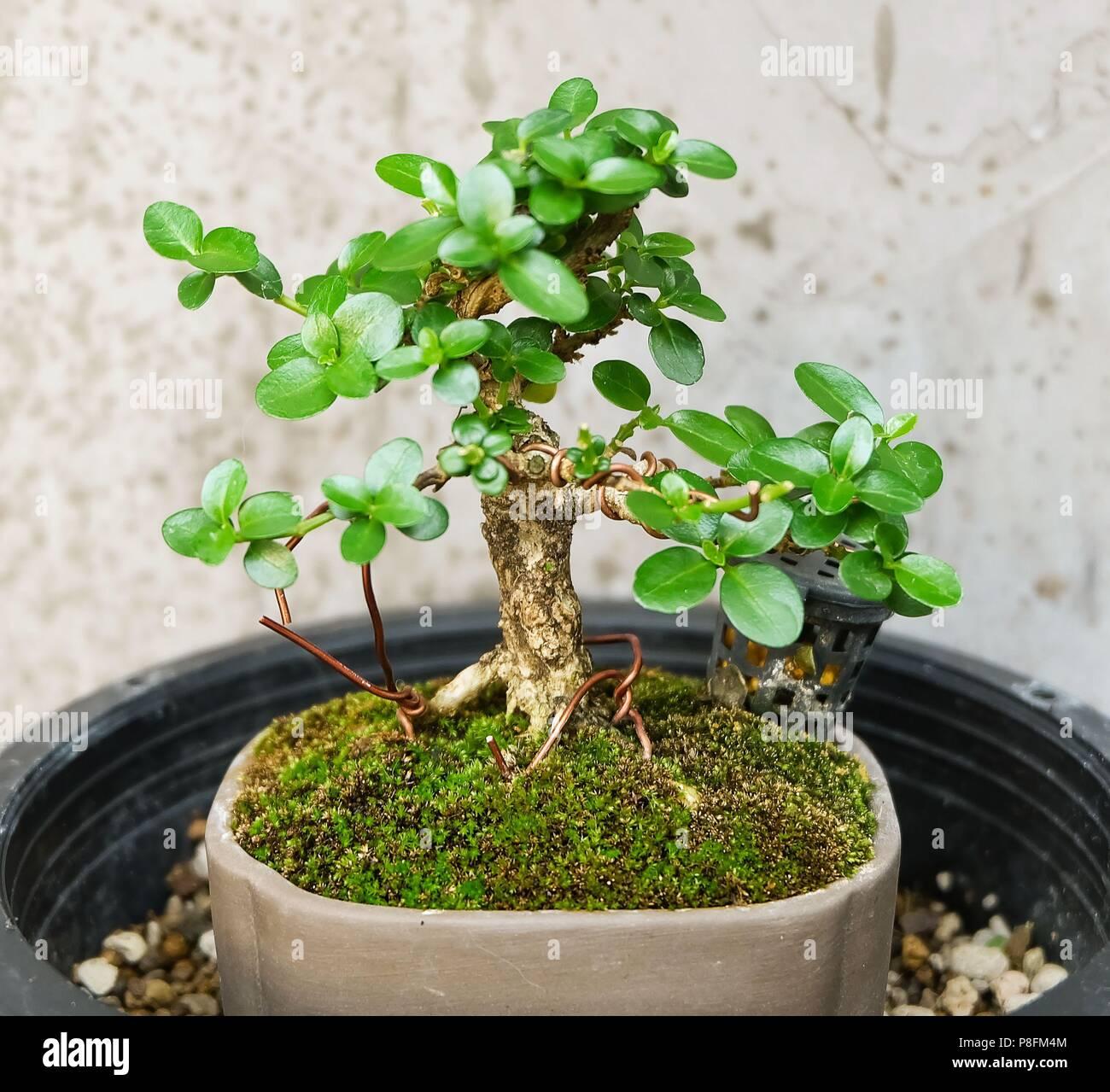 Zimmerpflanze Schone Frische Bonsai Baum In Einem