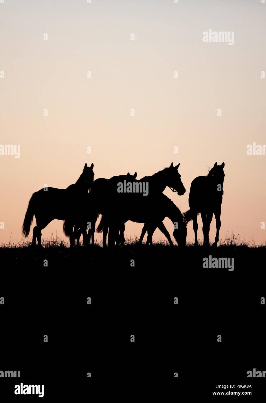 Gesterget Goerlsdorf, Silhouette, Pferde sind in der Morgendämmerung auf der Weide Stockbild