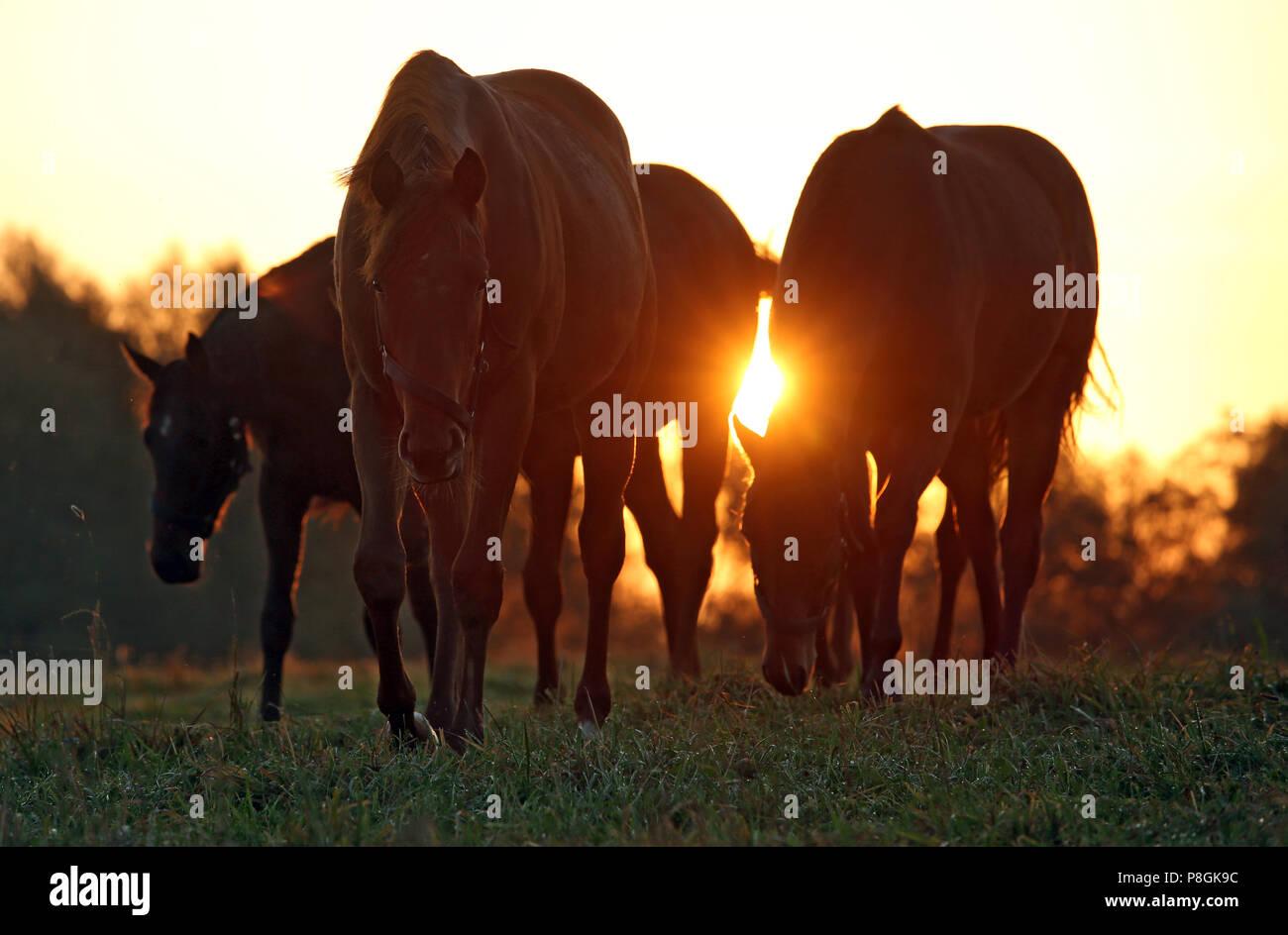 Die verzierte Goerlsdorf, Pferde bei Sonnenaufgang auf der Weide Stockbild