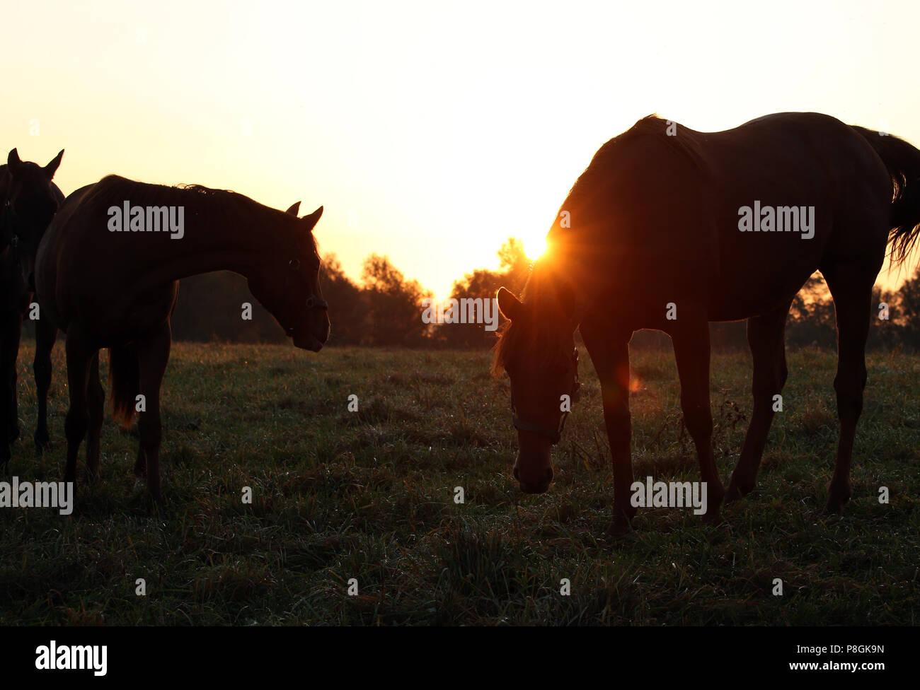Die verzierte Goerlsdorf, Silhouette, Pferde bei Sonnenaufgang auf der Weide Stockbild