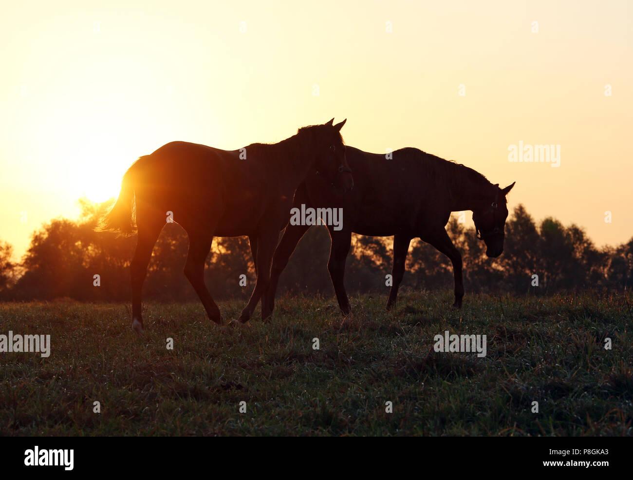 Die verzierte Goerlsdorf, Silhouette, Pferde bei Sonnenaufgang in Schritt auf der Weide Stockbild
