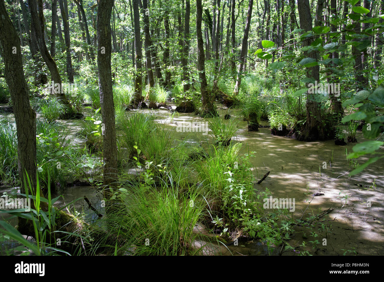 Wald Landschaft im Osten Deutschlands in der Nähe von Polen alten Wald bestreut mit sumpfigen Teiche Stockbild