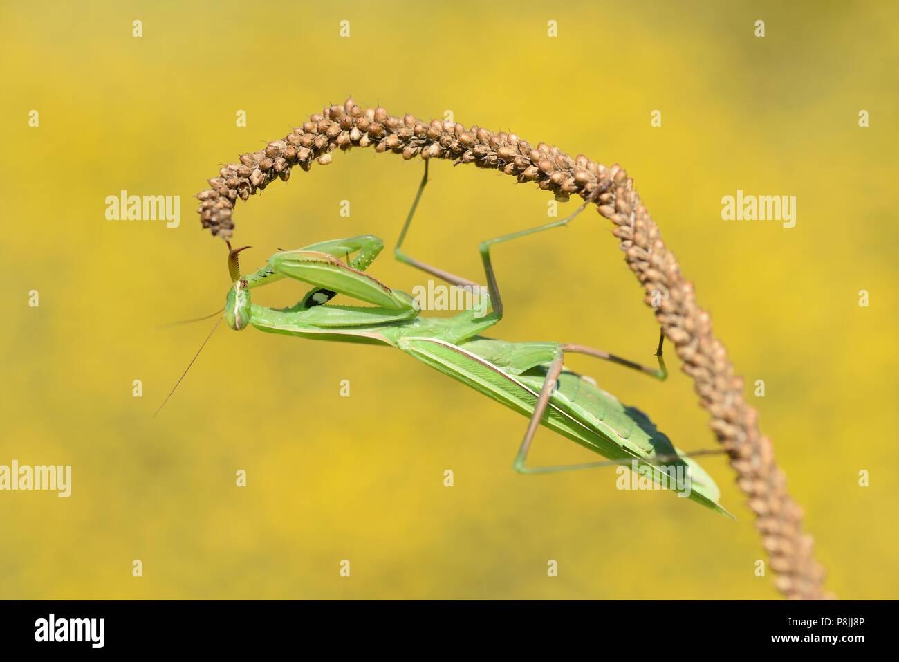 In der Nähe von Europäischen Mantis Stockbild