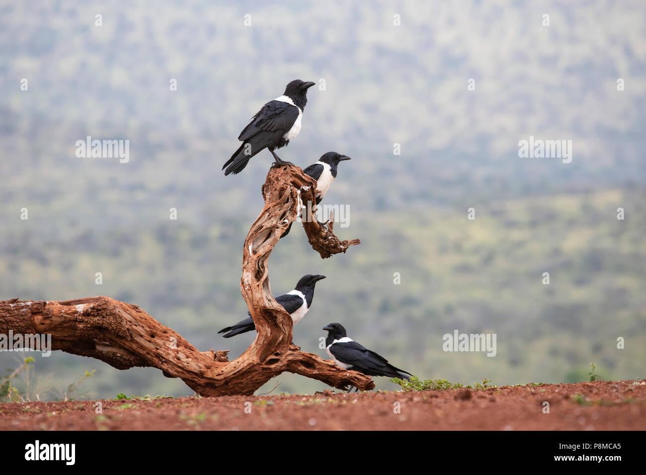Vier Pied Krähen Corvus Albus sitzen in einer Gruppe auf einer alten Toten Zweig Stockbild