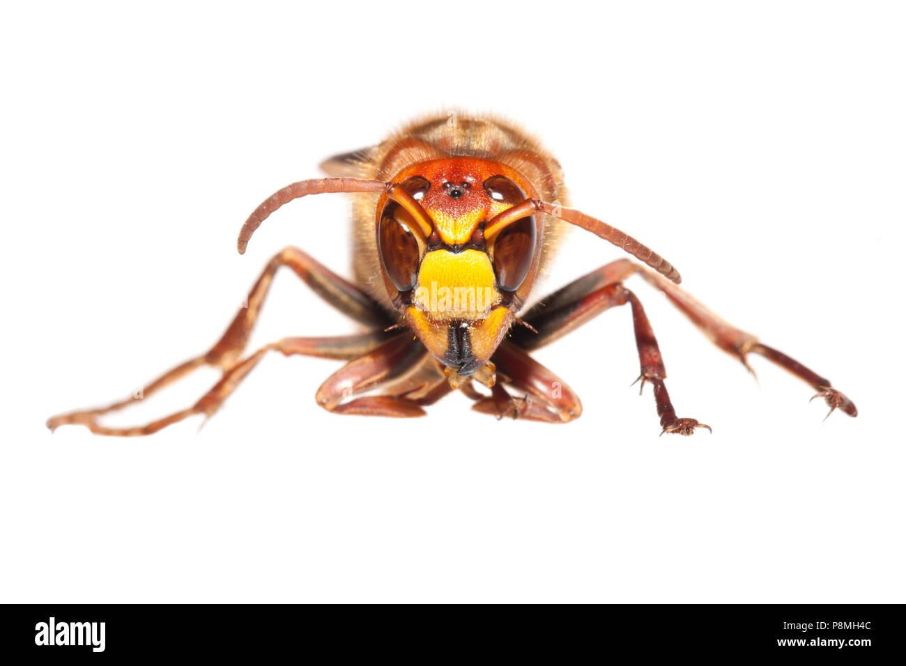 Hornet isoliert gegen einen weißen Hintergrund Stockbild