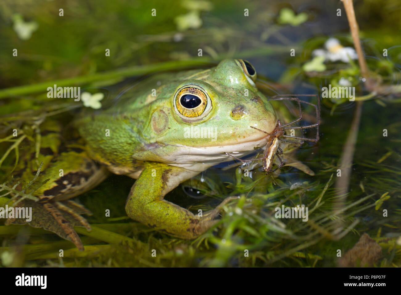 Pool-Frosch im Wasser Stockbild