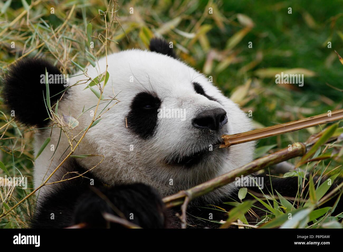 Bambus Essen Panda Stockfoto Bild 211924913 Alamy