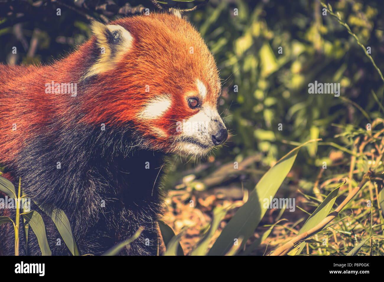 Schließen Sie herauf Bild eines Roten Panda (Ailurus fulgens) mit Kopie Raum Stockbild