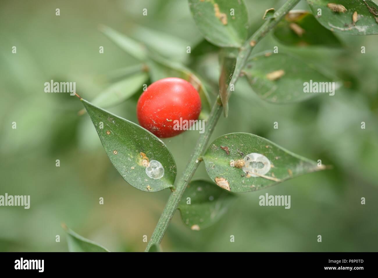 Fruchtkörper Mäusedorn Stockbild