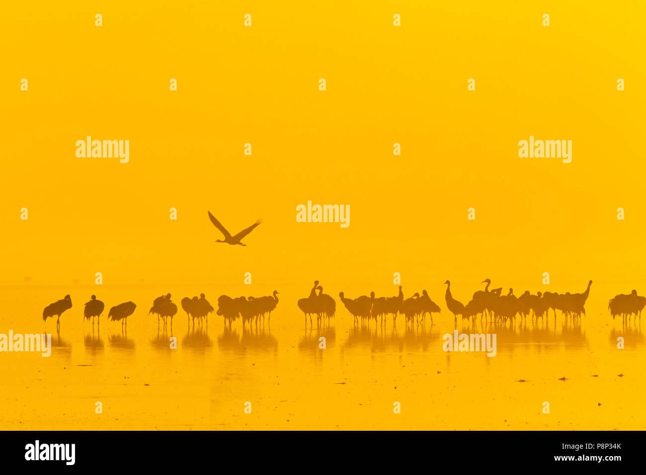 Gemeinsame Krane auf roost Website am frühen Morgen bei Sonnenaufgang in Hula Tal Stockbild