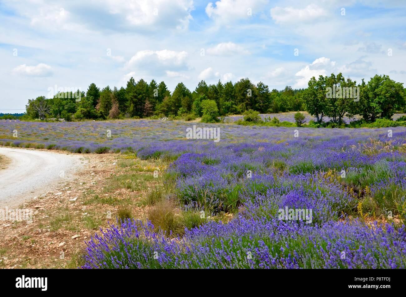 Blühende Lavendelfelder in der Provence, Frankreich, natürliche Umwelt, Landwirtschaft, Sommer, saisonale, Duft, Sonne, Urlaub, Wandern, Radfahren Stockbild