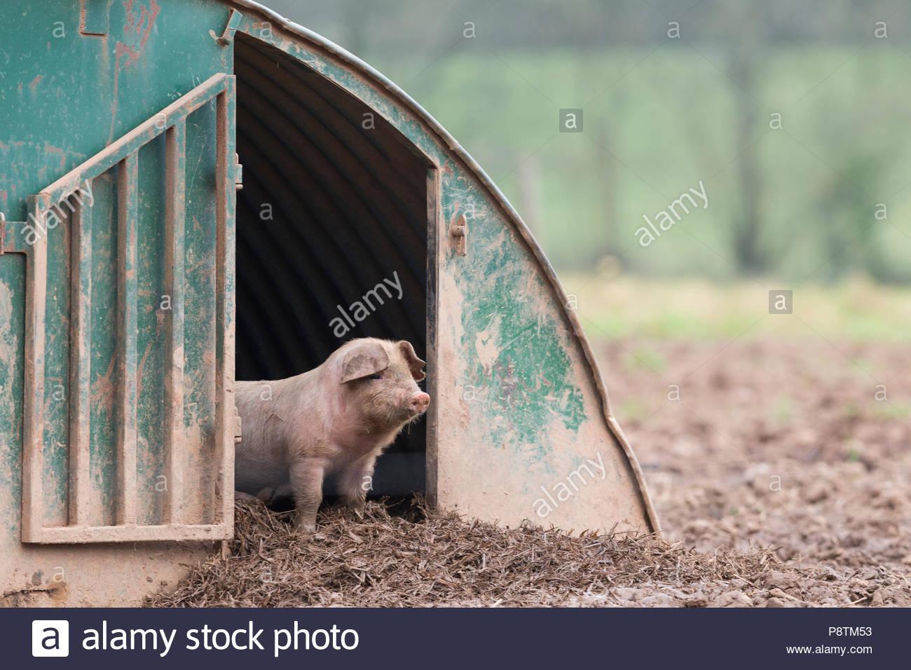 Ferkel stehend in einem Tierheim in einem Feld in Devon Stockbild