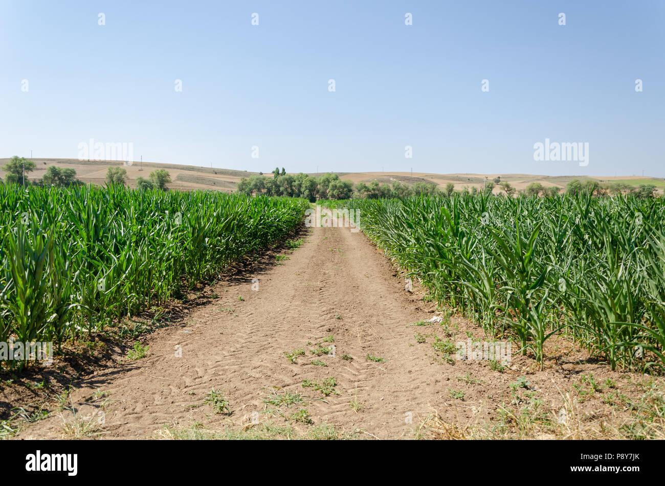 Kornfeld im Sommer. Das Wachstum der Pflanzen. Landwirtschaft Szene. Mais Landwirtschaft. Stockbild