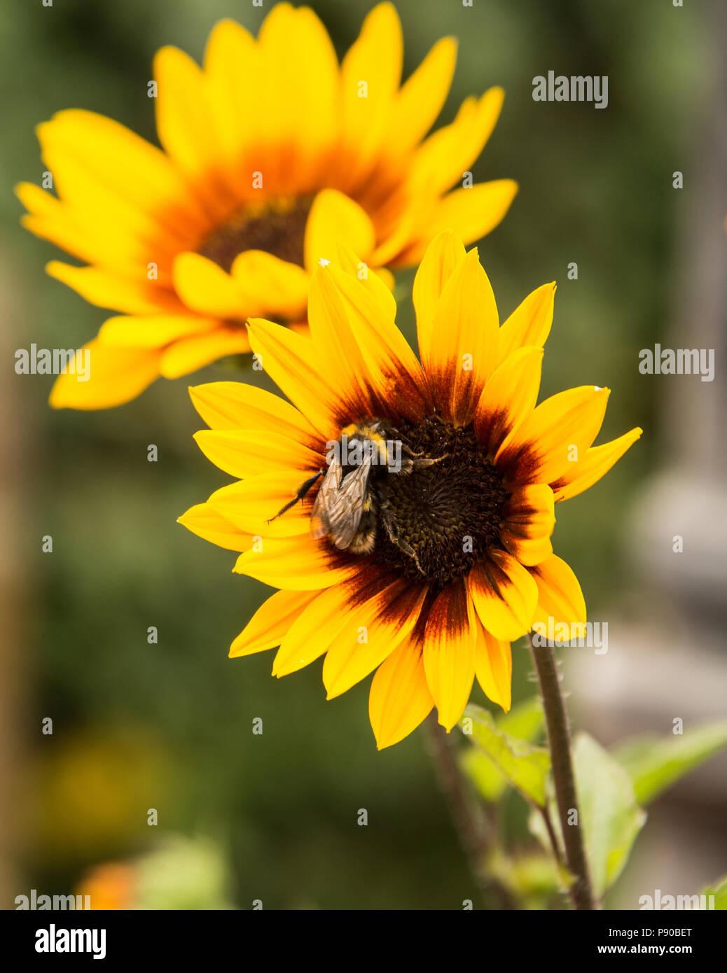 Biene auf Blume Sonnenblume. Stockbild