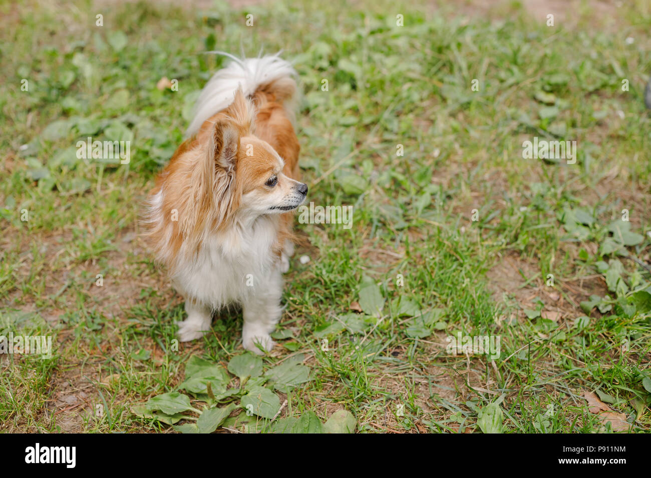 Zwei Langhaar Chihuahua Hund Im Grunen Gras Stockfotografie Alamy