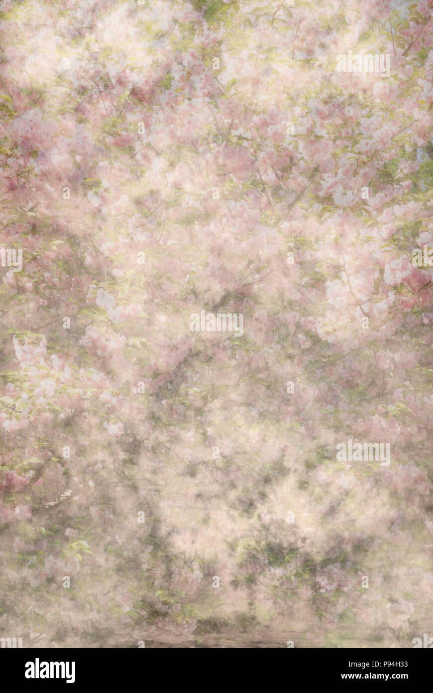 Rosa und Elfenbein floral background mit Impressionen von Kirschblüten, abstrakten Stockbild