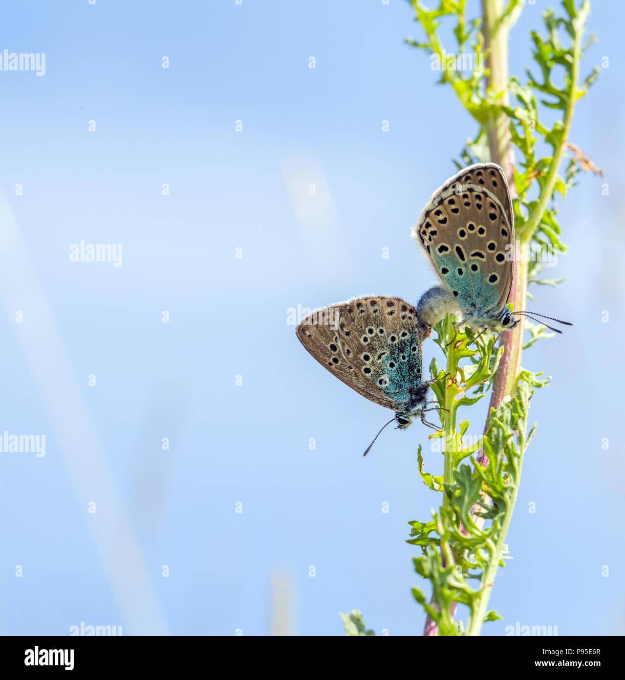 Die großen blauen Schmetterlings Maculinea Arion auf Collard Hill Somerset nach der erfolgreichen Wiedereinführung in der Mitte der 1980er Jahre nach Aussterben 1979 Stockbild